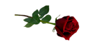 Single-Rose-PNG-01253-274x470