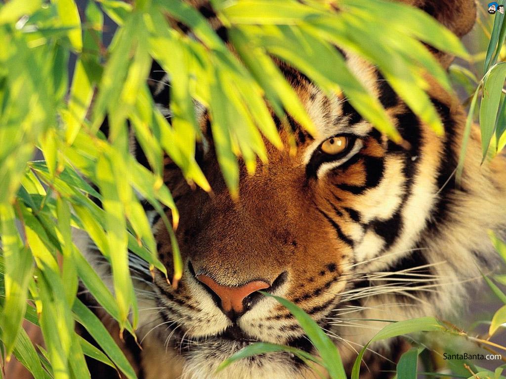 tigers-41a