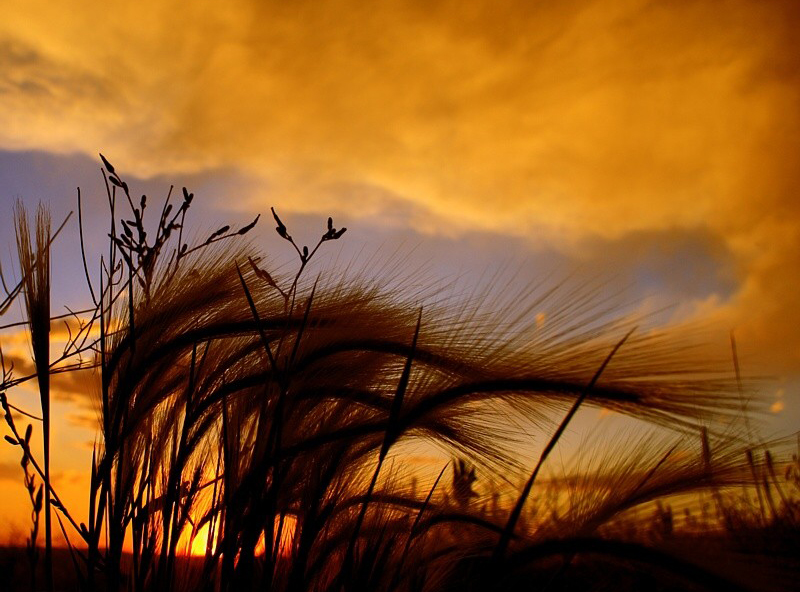 wind, wheat, sunrise