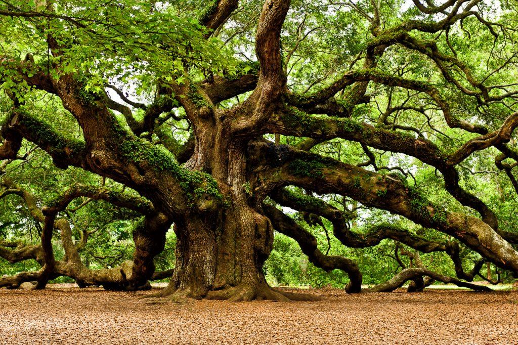 mystical-angel-oak-tree-