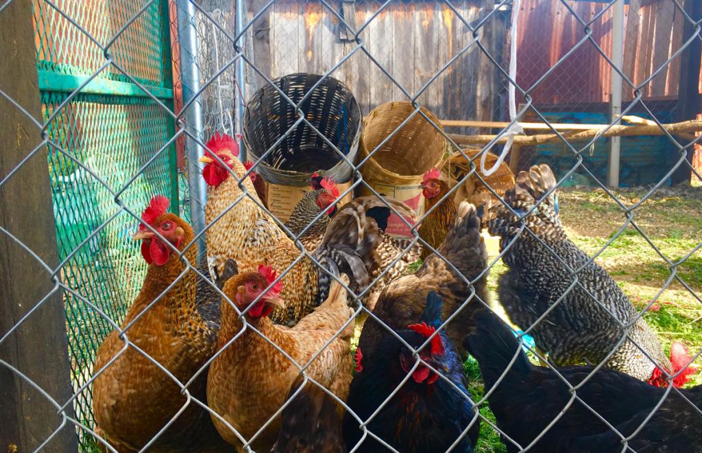 Hens-in-back-yard-edit